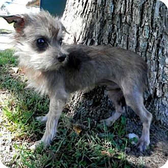 Maltese/Yorkie, Yorkshire Terrier Mix Dog for adoption in Tyler, Texas - Jed