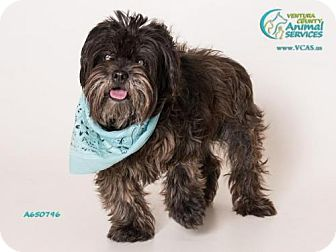 Shih Tzu/Maltese Mix Dog for adoption in Camarillo, California - CHICO