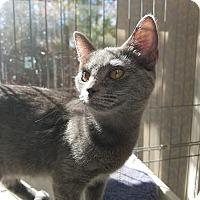 Adopt A Pet :: Sergei - Youngsville, NC