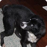 Border Collie/Shih Tzu Mix Dog for adoption in Staunton, Virginia - Cupcake