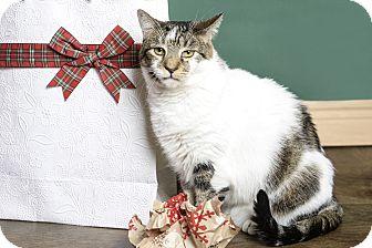 Domestic Shorthair Cat for adoption in Whitehall, Pennsylvania - Pepper