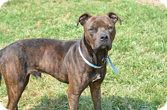 Pit Bull Terrier Mix Dog for adoption in Glenolden, Pennsylvania - Marqui