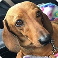 Adopt A Pet :: Chloe Cabriole - Houston, TX