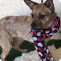 Terrier (Unknown Type, Small) Mix Dog for adoption in Casa Grande, Arizona - Tressle
