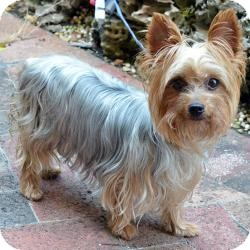 Yorkie, Yorkshire Terrier Dog for adoption in Beechgrove, Tennessee - Prada