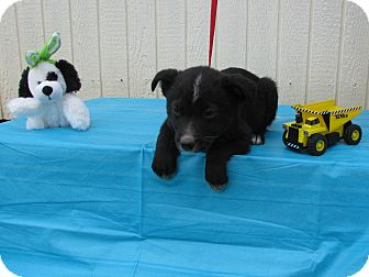 Feist/Australian Cattle Dog Mix Puppy for adoption in Humboldt, Tennessee - Peppie