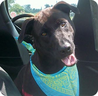 Shepherd (Unknown Type)/Labrador Retriever Mix Dog for adoption in Princeton, Kentucky - Hemi