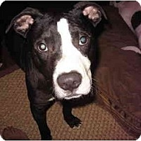Adopt A Pet :: Dylan - Reisterstown, MD