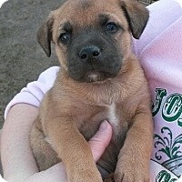 Adopt A Pet :: Heeler/Shep Mix Puppies! - Kirkland, WA