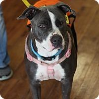 Adopt A Pet :: Sweet Pea - Tamarac, FL