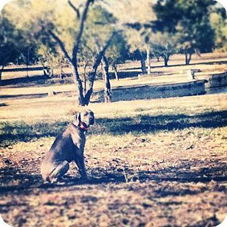 Weimaraner Dog for adoption in Dallas, Texas - ELI - Dallas