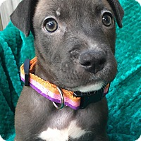 Adopt A Pet :: Astrid - Fort Collins, CO