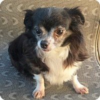Chihuahua Dog for adoption in Quentin, Pennsylvania - Pollyanna - Shy & Sweet!