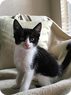 Domestic Shorthair Kitten for adoption in Orlando, Florida - Bonnie II