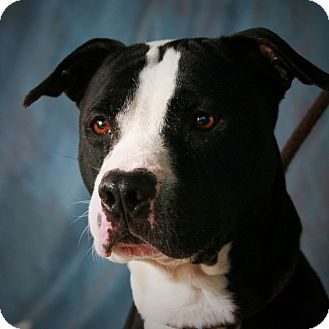 Pit Bull Terrier Mix Dog for adoption in Toms River, New Jersey - Milo