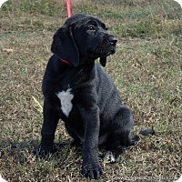 Great Dane/Labrador Retriever Mix Puppy for adoption in PRINCETON, Kentucky - Remi/ADOPTED