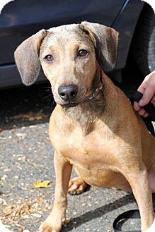 Hound (Unknown Type) Mix Dog for adoption in Glastonbury, Connecticut - Lila~ meet me!