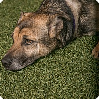 German Shepherd Dog/Labrador Retriever Mix Dog for adoption in Inglewood, California - Andy