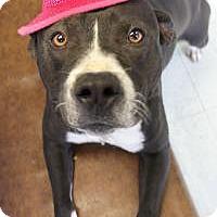 American Staffordshire Terrier Mix Dog for adoption in Yukon, Oklahoma - Kinsley