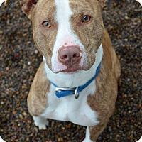 Adopt A Pet :: Brad - Newberg, OR