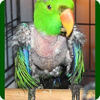 Adopt A Pet :: Lazer - Tampa, FL