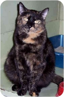 Calico Cat for adoption in Carpinteria, California - Bailey