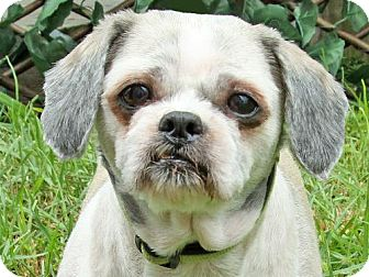 Shih Tzu Dog for adoption in Downey, California - Ozzy