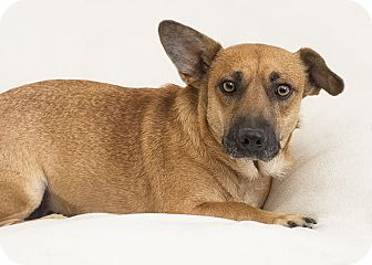 Corgi/Shepherd (Unknown Type) Mix Dog for adoption in Phoenix, Arizona - Roxanne