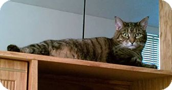 Domestic Shorthair Cat for adoption in Olmsted Falls, Ohio - Tigre-COURTESY POST