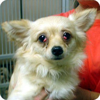 Pomeranian Mix Dog for adoption in baltimore, Maryland - Barbarella