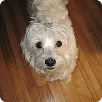 Adopt A Pet :: Coton - Vaudreuil-Dorion, QC