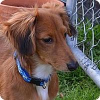 Adopt A Pet :: Beanie - Bryan, TX