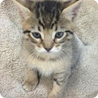 Adopt A Pet :: Sampson - Chandler, AZ