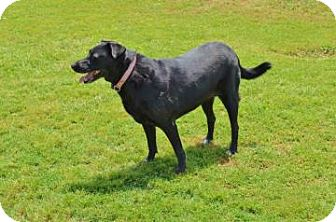 Labrador Retriever Dog for adoption in Garland, Texas - Lady
