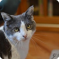 Domestic Shorthair Cat for adoption in Staten Island, New York - Patrick