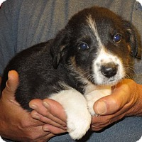 Adopt A Pet :: Paxson - Salem, NH