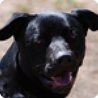 Labrador Retriever Mix Dog for adoption in Portola, California - Winston