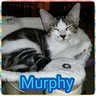 Domestic Shorthair Cat for adoption in Kennedale, Texas - Murphy