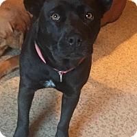 Adopt A Pet :: Bear Bear - CHAMPAIGN, IL