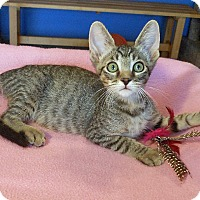Adopt A Pet :: Cate - Glendale, AZ