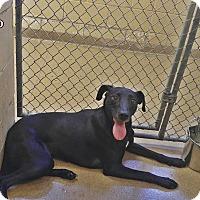 Adopt A Pet :: 1-10 Shyla - Triadelphia, WV