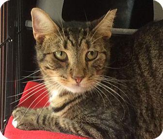 Domestic Shorthair Cat for adoption in Columbus, Ohio - Patootie