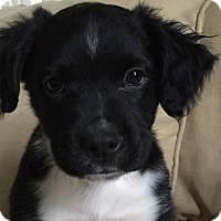 Adopt A Pet :: Preston - Harrisonburg, VA