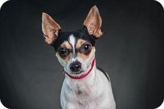 Rat Terrier Mix Puppy for adoption in Loxahatchee, Florida - Serena