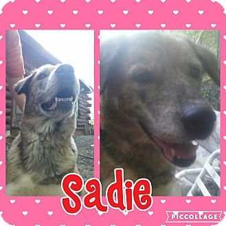 Husky/Labrador Retriever Mix Dog for adoption in Cranston, Rhode Island - Sadie