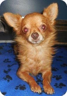 Chihuahua Mix Dog for adoption in Mesa, Arizona - Pearly