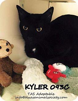 Domestic Shorthair Cat for adoption in Spring, Texas - Kyler