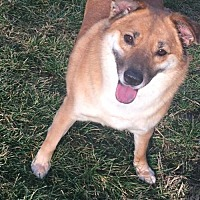 Finnish Spitz Mix Dog for adoption in Poland, Indiana - Sammie