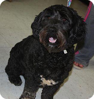 Cocker Spaniel/Schnauzer (Miniature) Mix Dog for adoption in Sparta, New Jersey - Puffenstuff