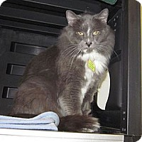 Domestic Mediumhair Cat for adoption in Lakewood, Colorado - Boots